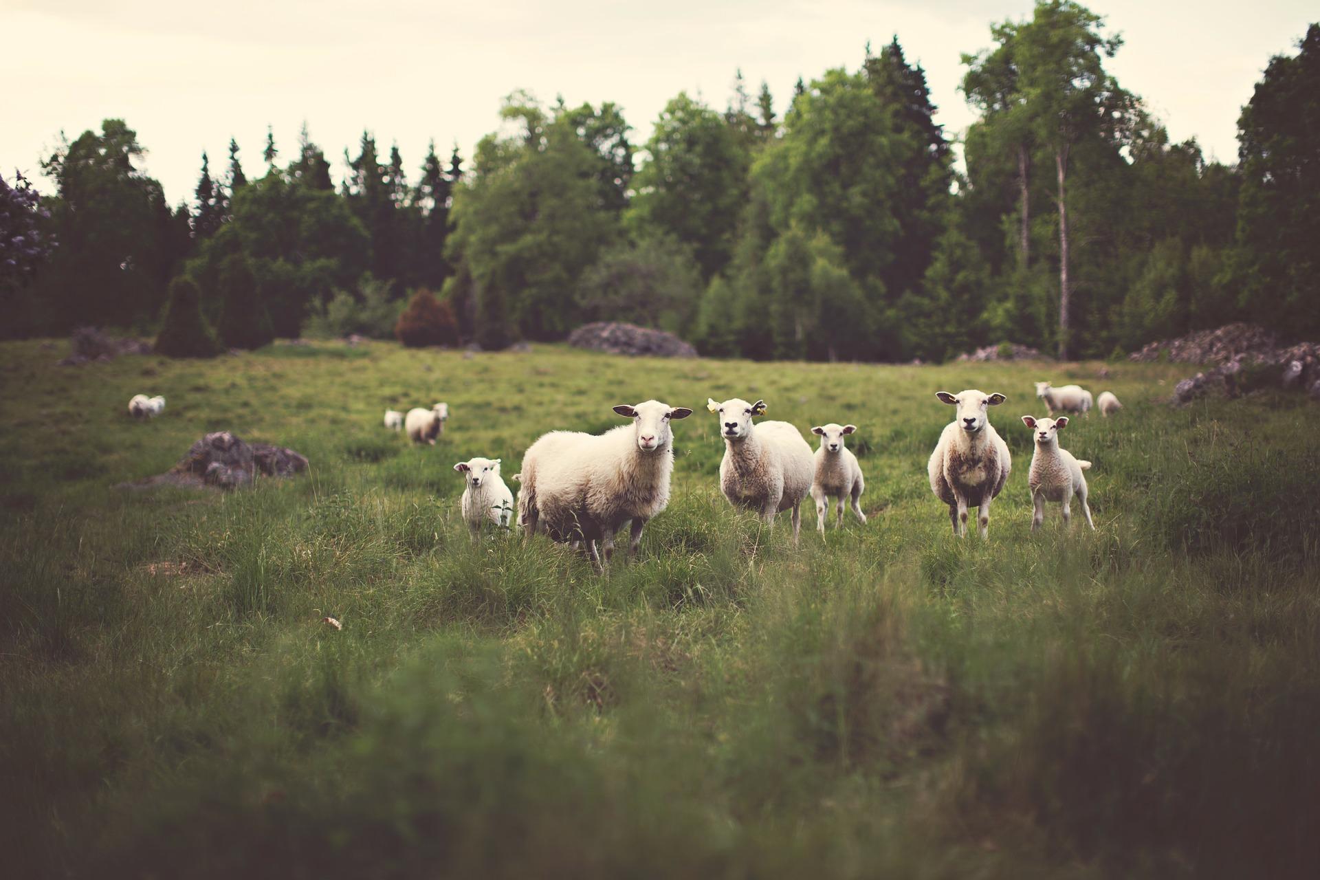 Gdy owce widzą wilki – XIV Niedziela Zwykła